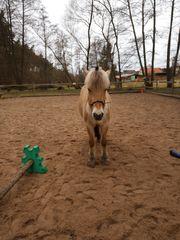 Offenstallplatz für ein Pony frei
