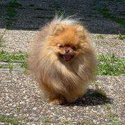 Pomeranian Deckrüde mit Erfahrung