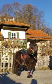 Kinderliebe Shetland Pony Stute Karissa