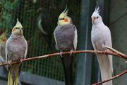 suche Nymphensittiche Papageien