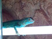 Blauer Leguan mit Terrarium