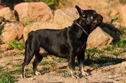 Französische Bulldogge Deckrüde mit Stammbaum