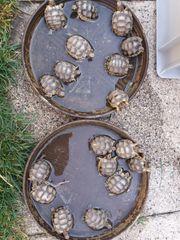 Breitrand Schildkröten NZ 2020