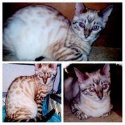 Bengal Kitten suchen Liebe volle