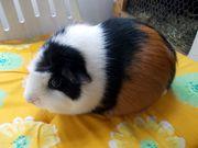 Kastrierter Meerschweinchen Mann sucht liebes