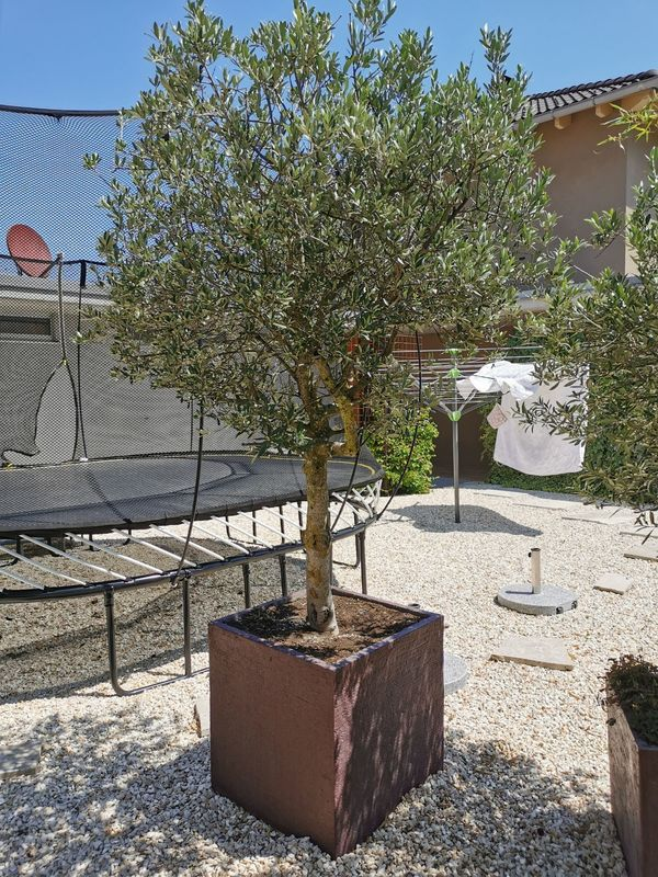 Olivenbaum dm 10 cm Stamm