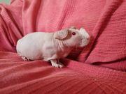 Skinny Pig Pärchen