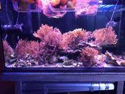 Kenia-Bäumchen - Bäumchenweichkoralle -Koralle - Meerwasser