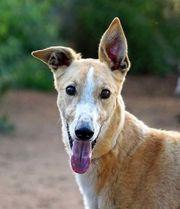 CAIMAN Greyhound
