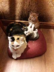 Blauweiße Babykatze