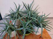 Aloe Vera Pflanze Ursprung Kanaren