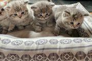 BKH-Kitten zum abgeben