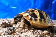 Griechische Landschildkrötenbabys Thb Nz 2021