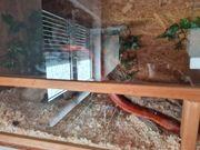 Terrarium mit Bewohner Kornnatter
