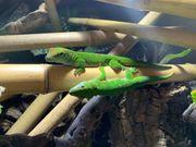 Madagaskar Taggecko Pärchen Rarität Wild