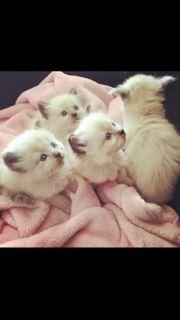 Reinrassige Birma Kitten