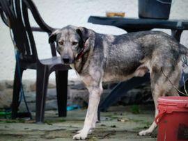 Hunde - lieber kastrierter Seramis in NRW