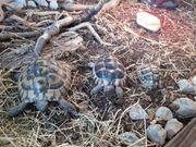 3 landschildkröten zuverkaufen