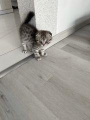 Verkaufe 3 BKH- Kitten