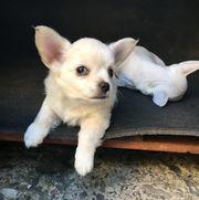 Chihuahua Welpen zwei kleine zuckersüße