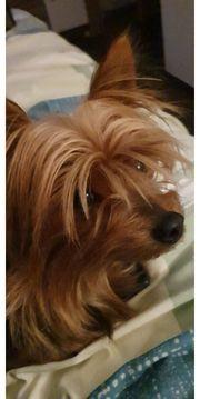 Wurfankündigung Yorkshire Terrier