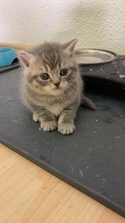 Schöne Reinrassige BKH Kitten