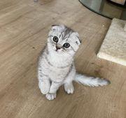 BKH Kitten Scottish Fold Katzenbaby