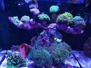 Euphyllia korallen