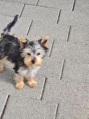 kleine Yorkshire Terrier Ahnentafel Welpen