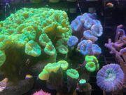 Meerwasser Koralle Caulastrea Flötenkoralle blau