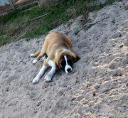 Germanische Bärenhunde Wach Schutzhunde