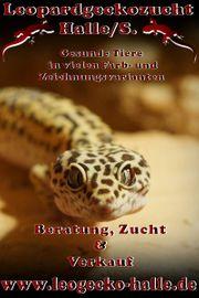 Leopardgeckos aus liebevoler Zucht