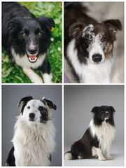 Deckrüden Australian Shepherd Border Collie