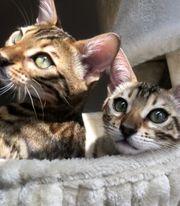 zwei Hübsche Bengalkatzen