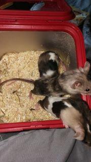 Mäuse babys zu verkaufen