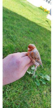 3 0 Mosaik Kanarien Kanarienvögel
