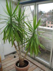 Yuccapalme 190cm hoch mit Steinguttopf
