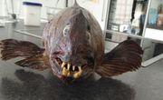 Präparierte Fische