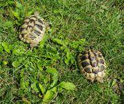 Griechische Landschildkröten - Testudo hermanni