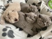 Exzellente Reinrassige BKH Kitten