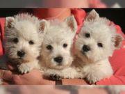 West-Highland-white-Terrier-Welpen