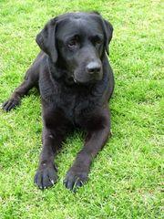 Senior Labrador Rüde mit Stammbaum