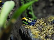 Dendrobates Tinctorius Brasilianer Dendrobates Frosch