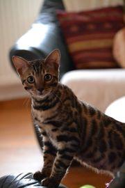 Bengal Kitten mit Stammbaum abgabebereit