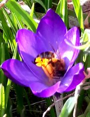 Bienenvolk Carnica auf Zander