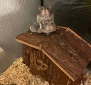 Baby Zwerg Hamster