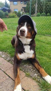 Appenzeller Sennenhund Hunde Kaufen Verkaufen Auf Quoka De