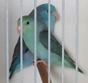 Blaugenick Sperlingspapageien Hähne und ein