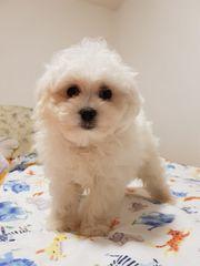 Mini Malteser Süß