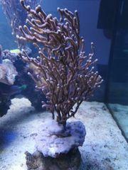 pinnigorgia gorgonie Meerwasser Koralle